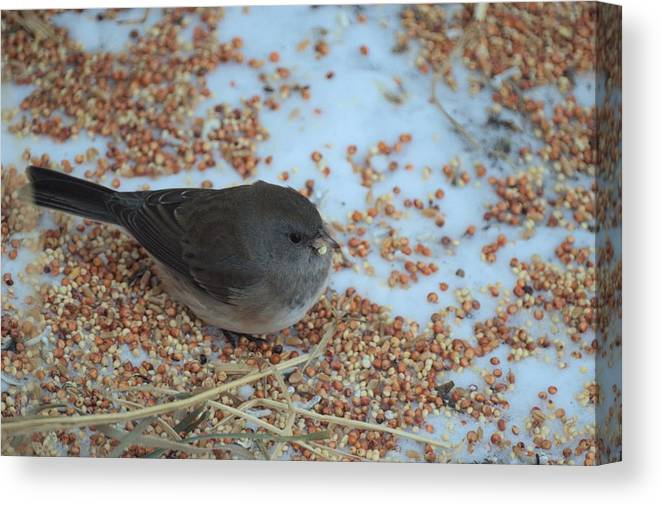 Bird Canvas Print featuring the photograph Black Eyed Junco by Bonfire Photography