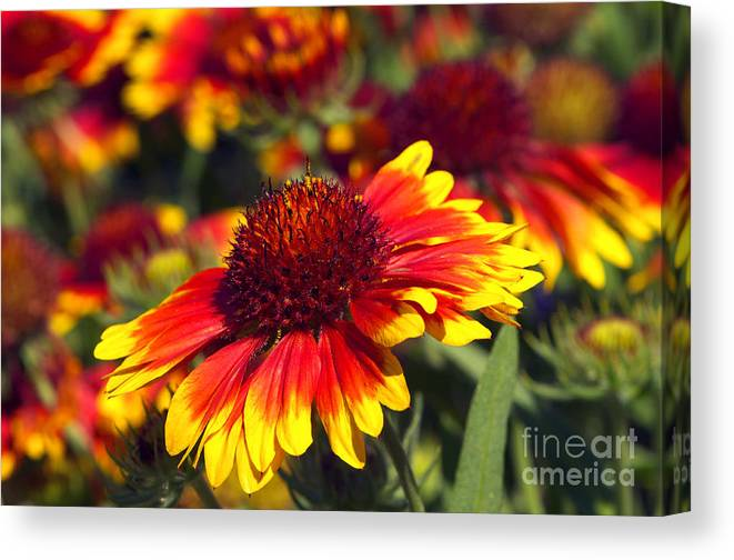 Blanket Flower Canvas Print featuring the photograph Blanket Flower by Sharon Talson