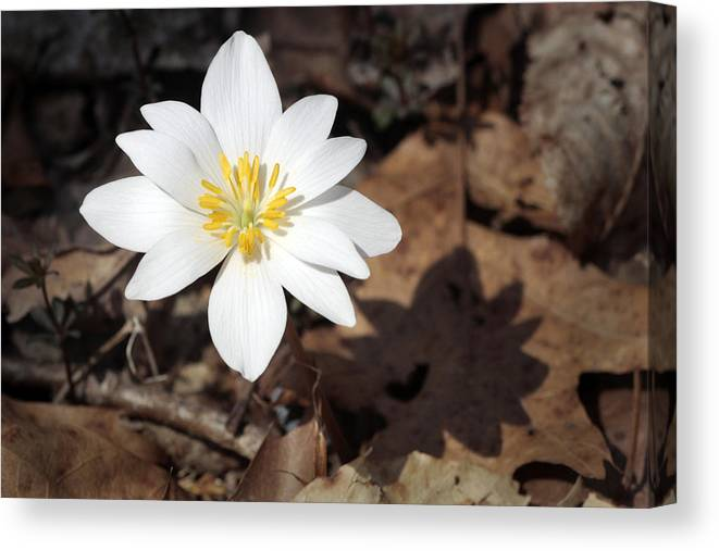 Nature Canvas Print featuring the photograph Bloodroot by Tasha ONeill
