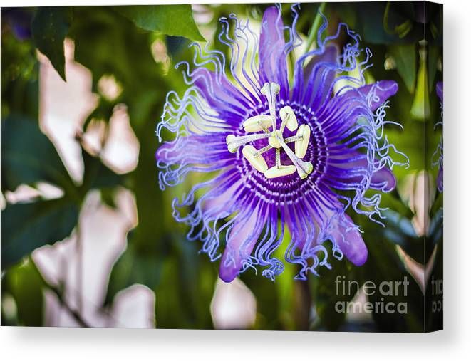 Violet Canvas Print featuring the photograph Blue Violet by Lacie Oakey