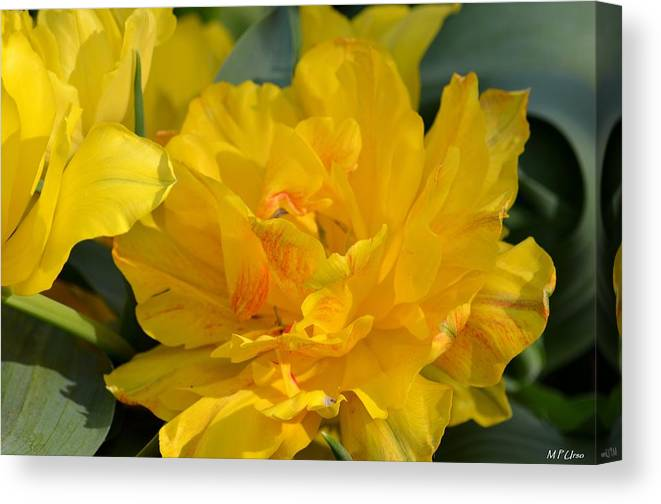 Blushing Yellow Canvas Print featuring the photograph Blushing Yellow by Maria Urso
