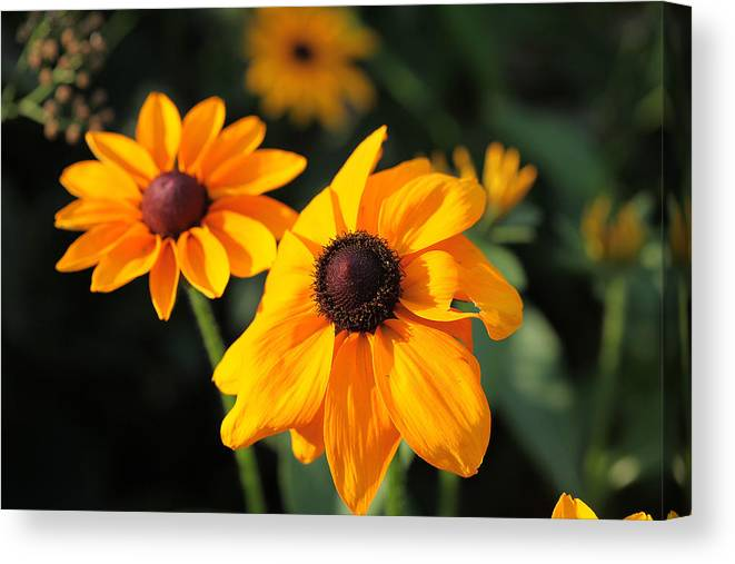 Flowers Canvas Print featuring the photograph Bursting Beauty by Karol Livote