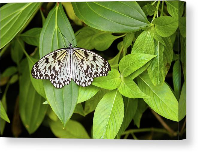 Photography Canvas Print featuring the photograph Butterfly Perching On Leaf In A Garden by Panoramic Images