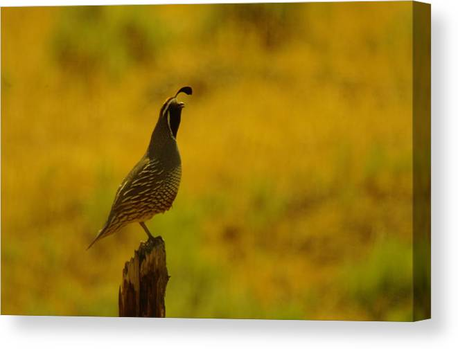 Rooster Quail Canvas Print featuring the photograph Calling For Girl Friends by Jeff Swan