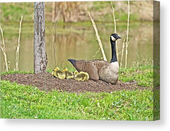 Goose Canvas Print featuring the photograph Canada Goose And Goslings by Mother Nature