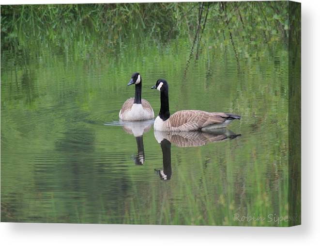 Canadian Geese Canvas Print featuring the photograph Canadian Lovebirds by Robin Vargo