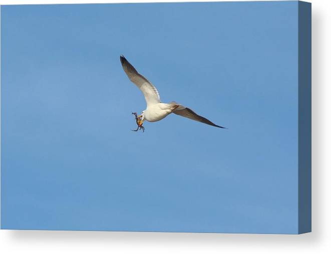 Karen Silvestri Canvas Print featuring the photograph Catch Of The Day by Karen Silvestri