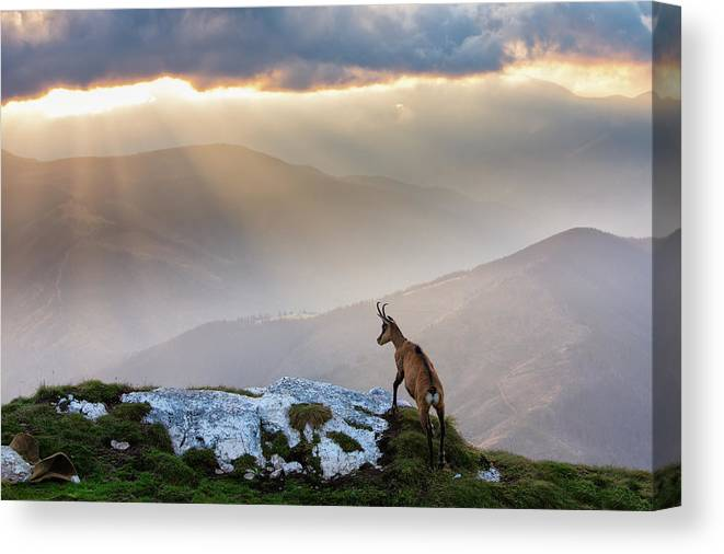 Nature Canvas Print featuring the photograph Chamois In Piatra Craiului Romania by Dan Mirica