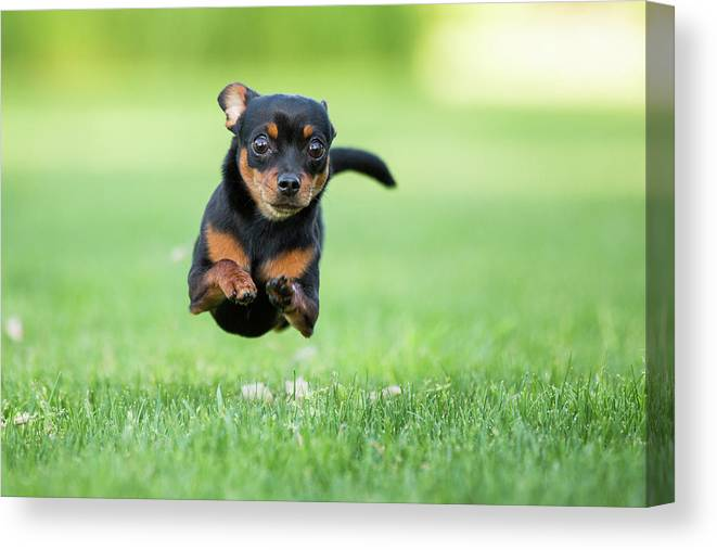 Pets Canvas Print featuring the photograph Chihuahua Dog Running by Purple Collar Pet Photography