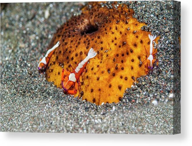 Lembeh Strait Canvas Print featuring the photograph Cleaner Shrimp On Sea Cucumber by Georgette Douwma/science Photo Library