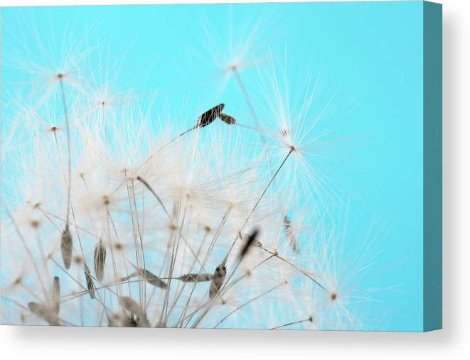 Photography Canvas Print featuring the photograph Close-up Dandelion Seeds Against Blue by Panoramic Images