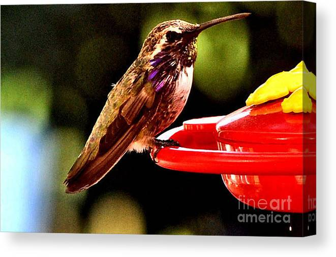 Bird Canvas Print featuring the photograph Colorful Juvenile Humingbird by Jay Milo