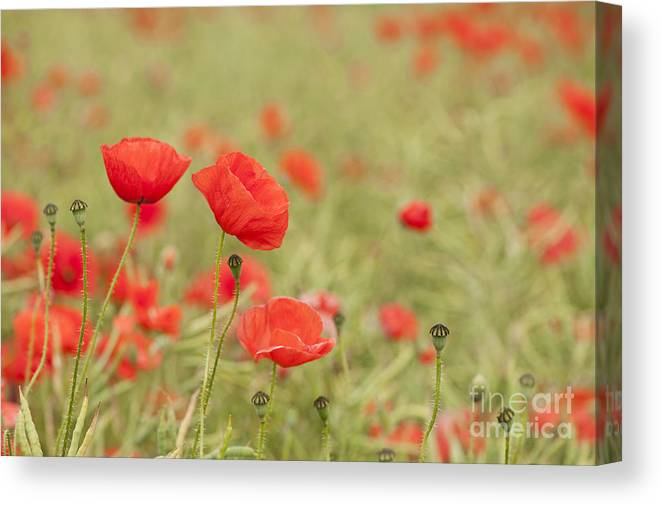 Anne Canvas Print featuring the photograph Common Poppies by Anne Gilbert