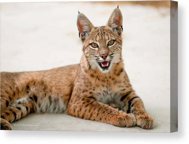 Bobcat Canvas Print featuring the photograph Content by Jerry Williamson