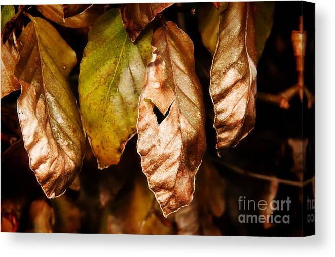 Beech Canvas Print featuring the photograph Copper Beech Leaves by Susie Peek