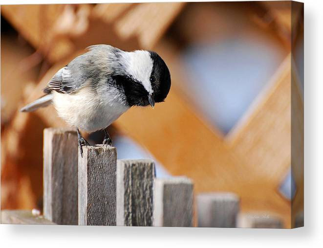 Bird Canvas Print featuring the photograph Curious Chickadee by Christina Rollo
