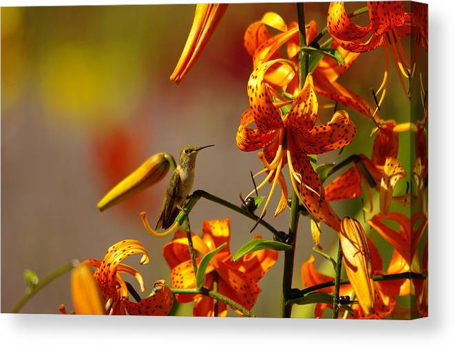 Humming Bird Canvas Print featuring the photograph Day Dreaming In The Blooms by Jeff Swan