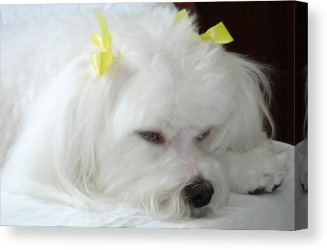 Maltese Canvas Print featuring the photograph Deep Asleep by Mary Beth Landis
