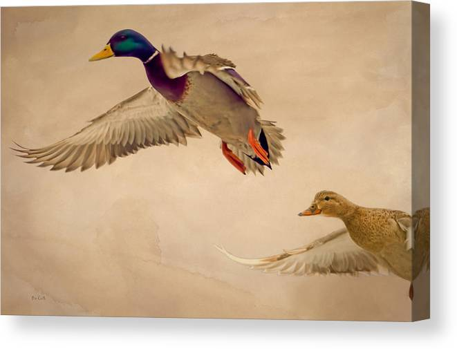 Duck Canvas Print featuring the photograph Ducks In Flight by Bob Orsillo