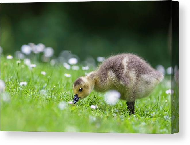 Grass Canvas Print featuring the photograph Europe, Germany, Bavaria, Canada Goose by Westend61