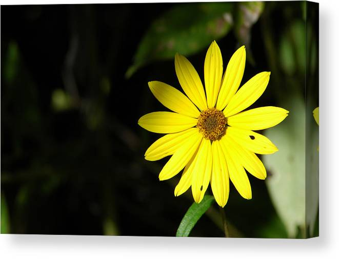 Flower Canvas Print featuring the photograph Facing The Light 2 by David Weeks