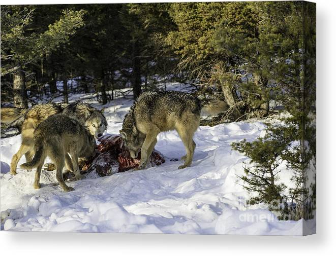 Alpha Canvas Print featuring the photograph Feeding by Frank Pali