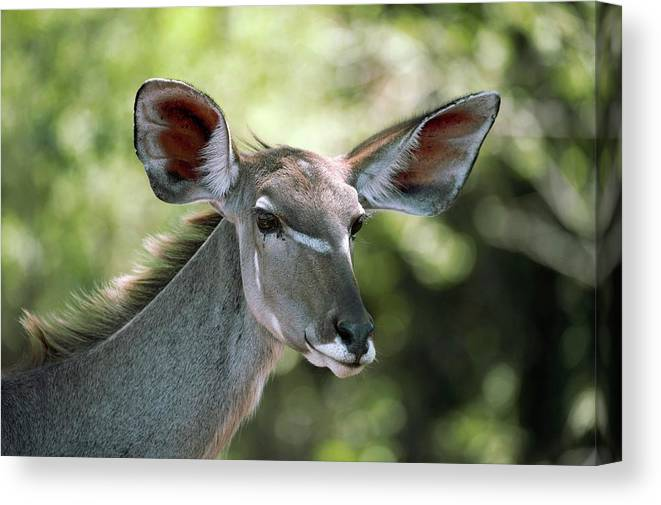 Greater Kudu Canvas Print featuring the photograph Female Greater Kudu by Dr P. Marazzi/science Photo Library