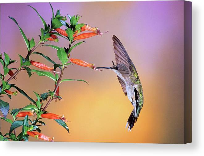 Photography Canvas Print featuring the photograph Female Ruby-throated Hummingbird by Animal Images