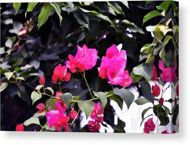 Horizontal Canvas Print featuring the photograph Fernwood Botanical Garden Bougainvillea Niles Michigan Usa by Sally Rockefeller