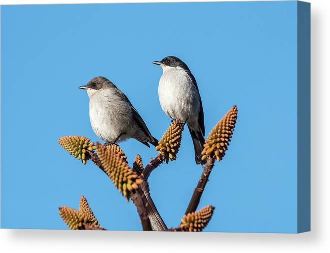 Africa Canvas Print featuring the photograph Fiscal Flycatcher Pair by Peter Chadwick/science Photo Library