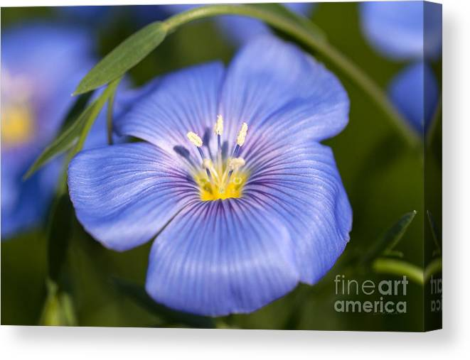 Flax Flower Canvas Print featuring the photograph Flax Flower by Iris Richardson
