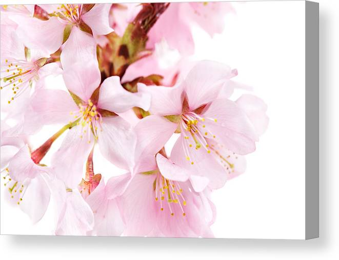 Cherry Blossom Canvas Print featuring the photograph Flowering Cherry by Jo Ann Snover