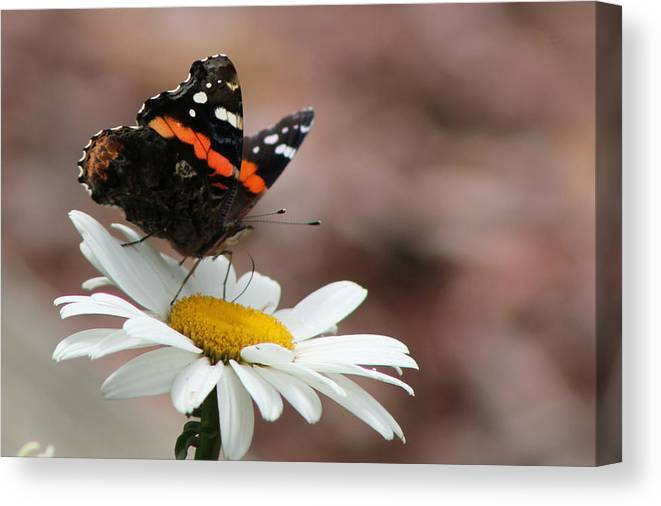 Red Admiral Canvas Print featuring the photograph Flutter II by Sarah Boyd
