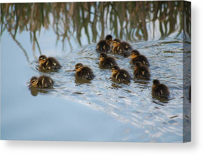 Ducklings Canvas Print featuring the photograph Follow The Leader by Harvey Scothon