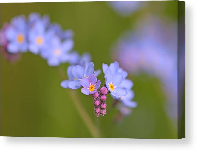 Forget Me Nots Canvas Print featuring the photograph Forget Me Nots by Peggy Collins