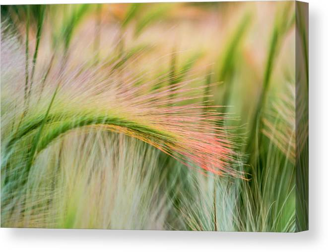 Foxtail Barley Near Regent, North Canvas Print