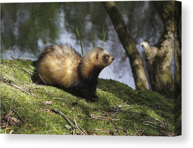 Ferret Canvas Print featuring the photograph Fret On The Bank Of A Pond In Drenthe Netherlands by Ronald Jansen