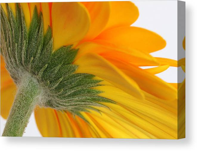 Gerbera Canvas Print featuring the photograph Gerbera by Shirley Mitchell