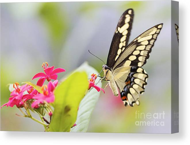 Butterfly Canvas Print featuring the photograph Giant Swallowtail II by Pamela Gail Torres