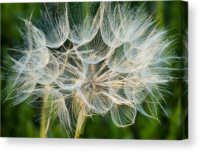 Blooms Canvas Print featuring the photograph Glittering In The Grass by Cara Moulds