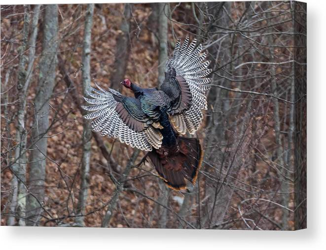 Turkey Canvas Print featuring the photograph Gobbler In Flight by Nathan Harker