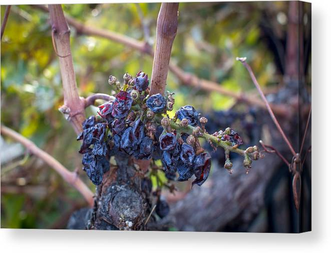 Grapes Canvas Print featuring the photograph Grapes Of Wrath by Josh Quillin