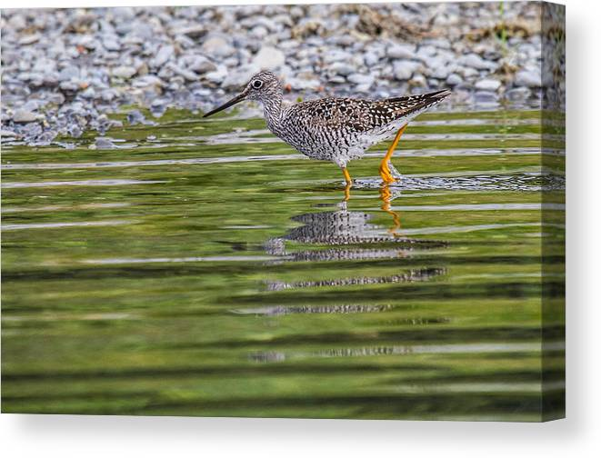 Alaska Canvas Print featuring the photograph Greater Yellowlegs by Craig Brown
