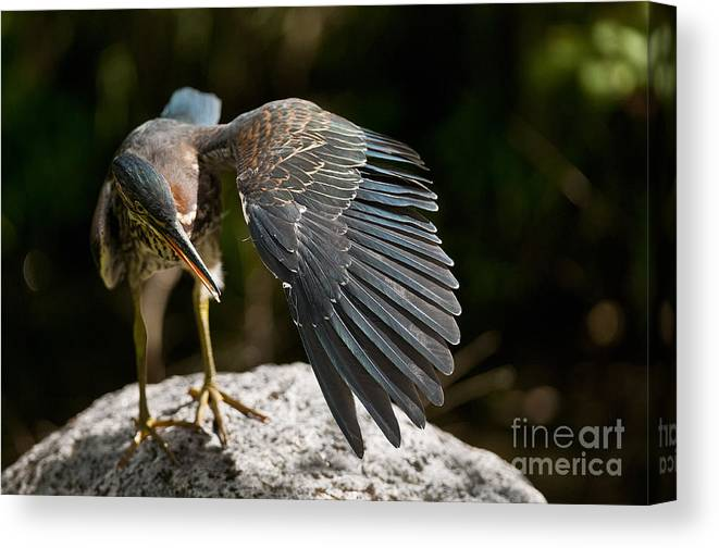 Green Heron Canvas Print featuring the photograph Green Heron Pictures 382 by World Wildlife Photography
