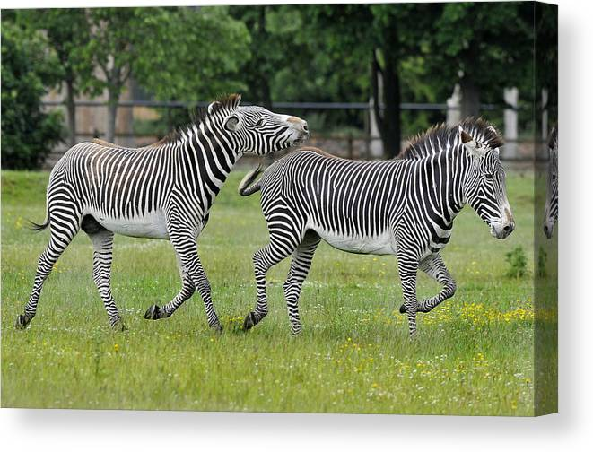 Grevy Zebras Mating Intent Turned Down With Fearsome Back Kicks