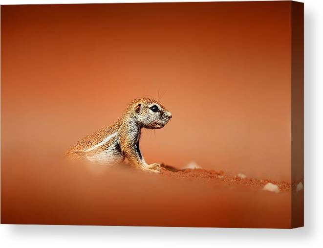 Squirrel Canvas Print featuring the photograph Ground Squirrel On Red Desert Sand by Johan Swanepoel