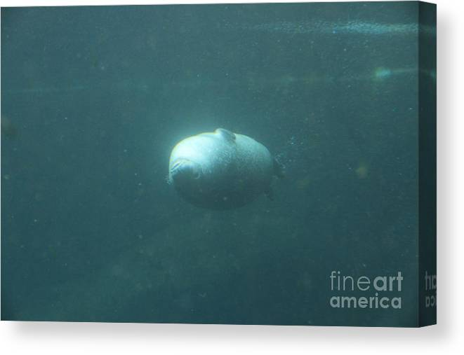 Harbor Seal Canvas Print featuring the photograph Harbor Seal by Four Hands Art