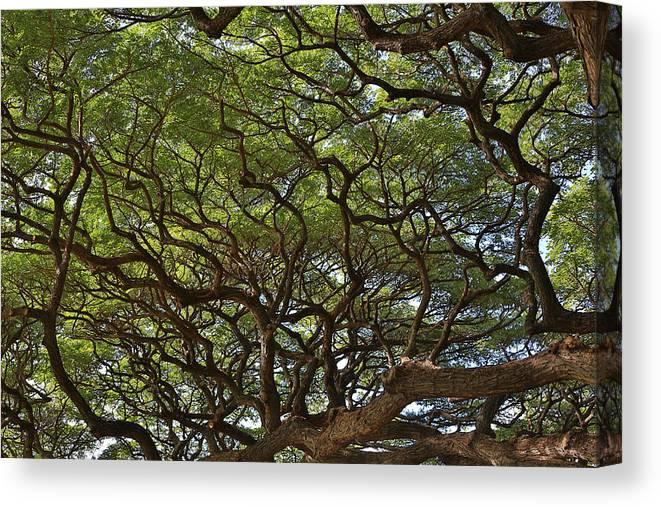 Sam Amato Photography Canvas Print featuring the photograph Hawaiian Banyan Tree by Sam Amato