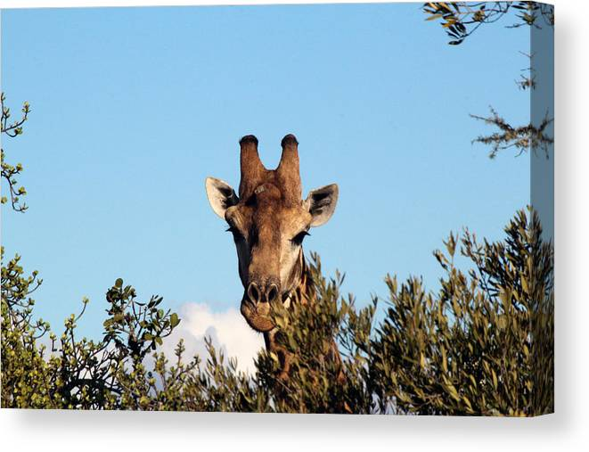 Giraffe Canvas Print featuring the photograph Head Above The Rest by Chris Whittle