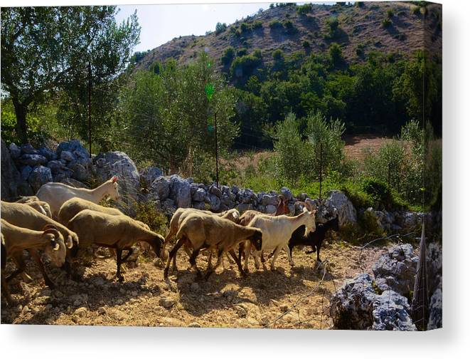 Mutton Canvas Print featuring the photograph Herd Of Sheep In Tuscany by Dany Lison